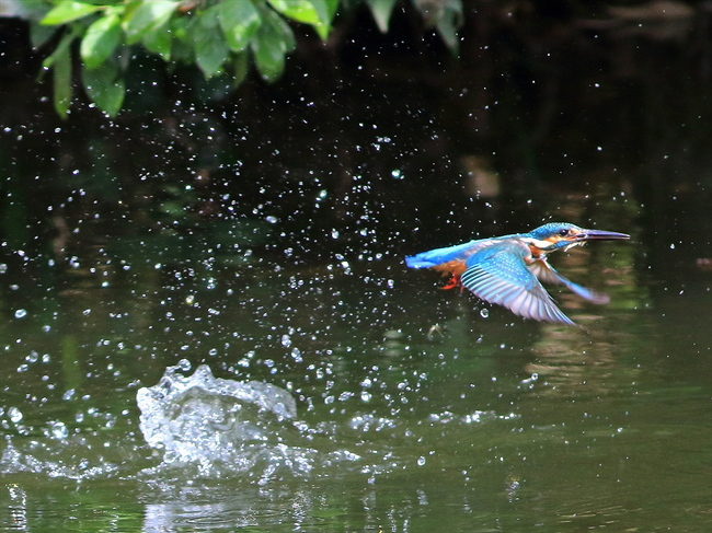 ADお魚とり幼鳥41_R.jpg