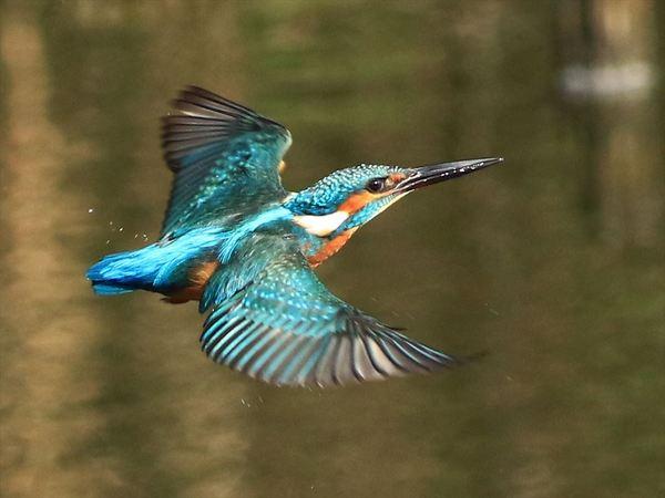 羽まで青いカワセミ