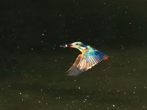 カワセミ飛び2_R.jpg
