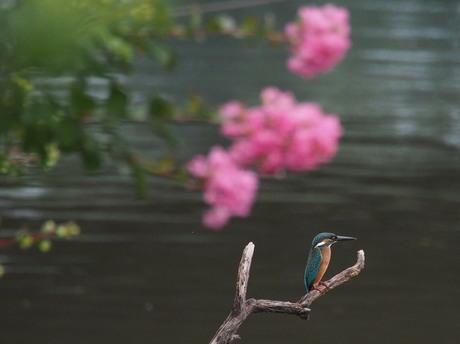 サルスベリとカワセミ 晴れ2.jpg
