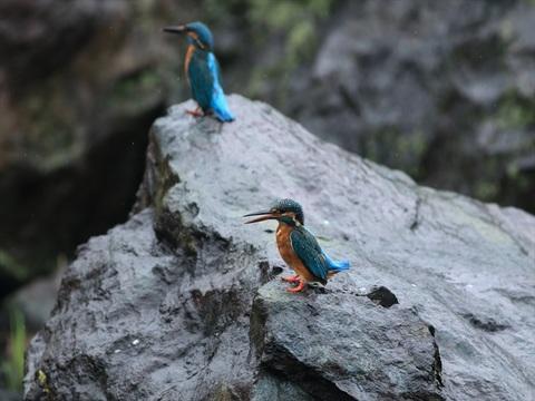 二羽は岩場で_R.jpg