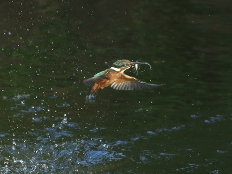 幼鳥 餌採り1_R.jpg