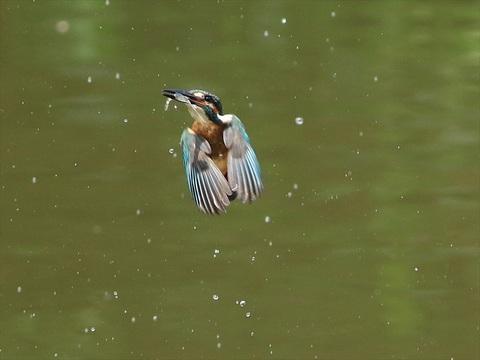 幼鳥 餌採り2_R.jpg