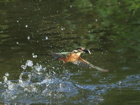 幼鳥 餌採り3_R.jpg