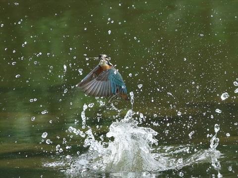 幼鳥 餌採り4_R.jpg