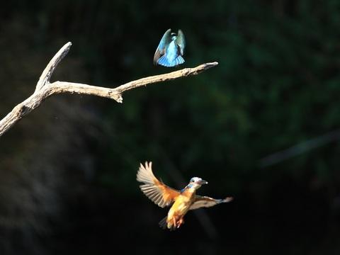 幼鳥へアタック_R.jpg