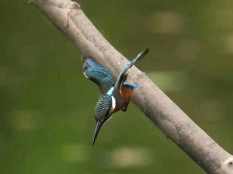 幼鳥飛び出し7_R.jpg