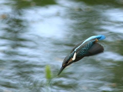 幼鳥飛び込み45_R.jpg