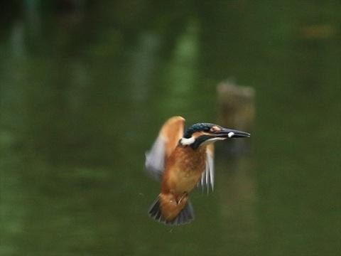 幼鳥飛び9_R.jpg