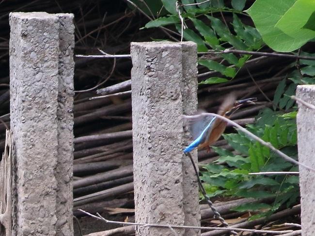 幼鳥餌採り14_R.jpg