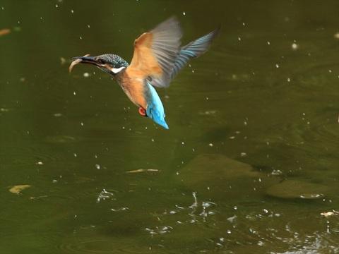 幼鳥餌採り3_R.jpg