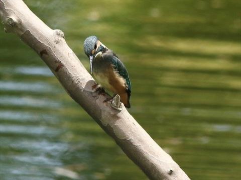 幼鳥3_R.jpg