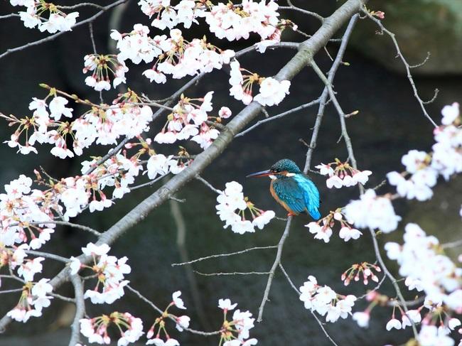桜カワセミ1_R.jpg
