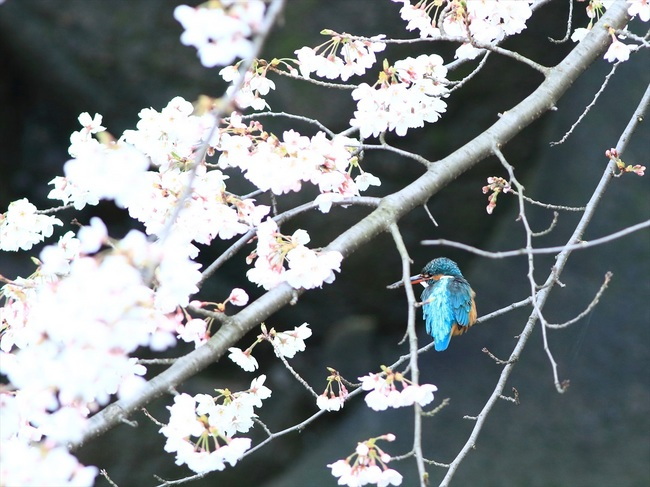 桜カワセミ2_R.jpg