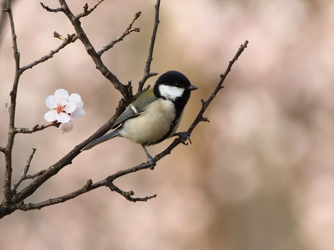 桜シジュウカラ2_R.jpg