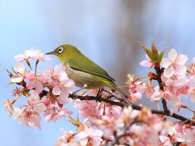 桜メジロ1_R.jpg