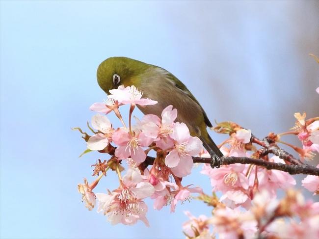 桜メジロ2_R.jpg