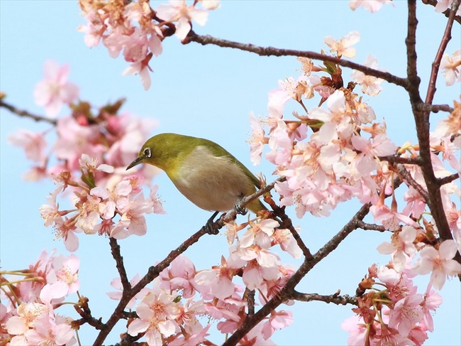 桜メジロ4_R.jpg