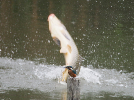 飛び出す鯉.jpg