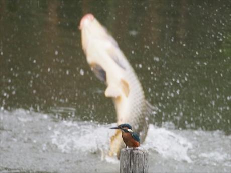 飛び出す鯉 新_R.jpg