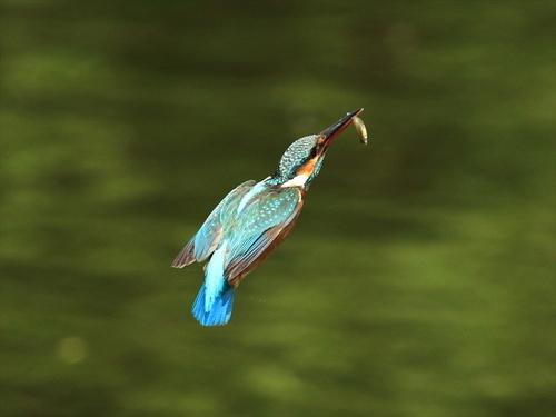 魚咥え上飛び1_R.jpg