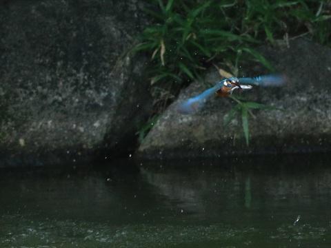 魚咥え飛び6_R.jpg