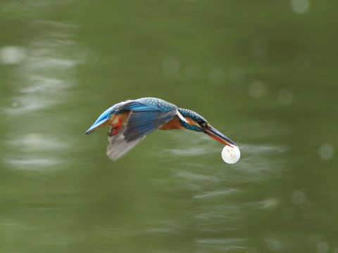 kingfisher's egg.jpg