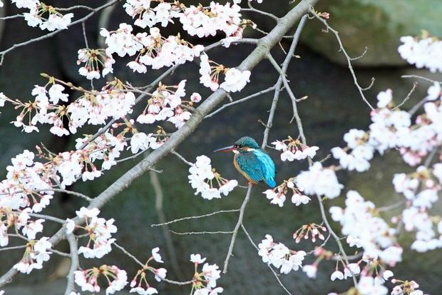AS桜カワセミ_R.jpg