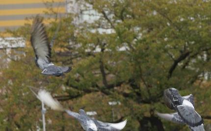 DSC01161鳩がぐるぐる舞うの巻.jpg