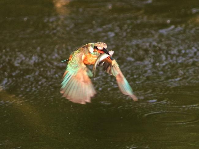 お魚獲り2_R.jpg