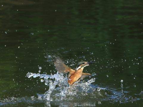 幼鳥 餌採り失敗2_R.jpg