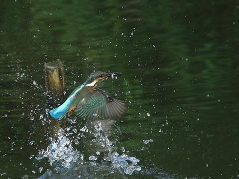 幼鳥 餌採り6_R.jpg