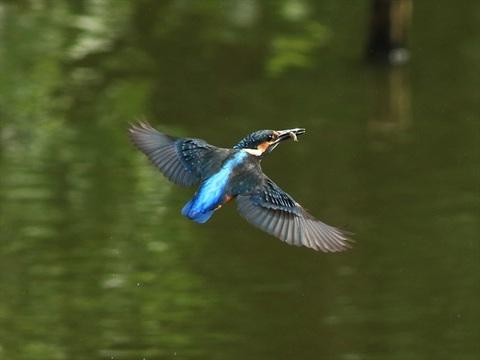 幼鳥飛び1_R.jpg