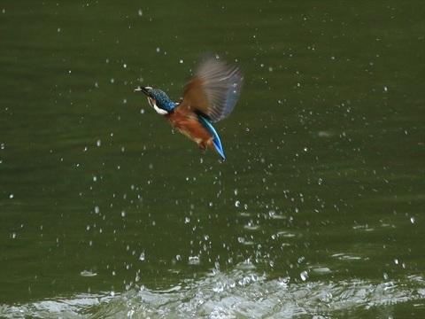 幼鳥飛び5_R.jpg