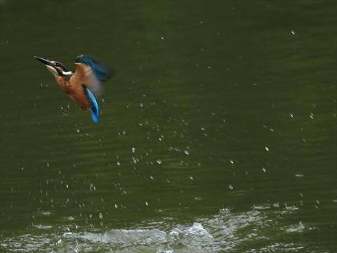 幼鳥飛び7_R.jpg