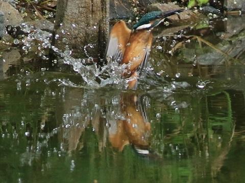 幼鳥餌採り2_R.jpg
