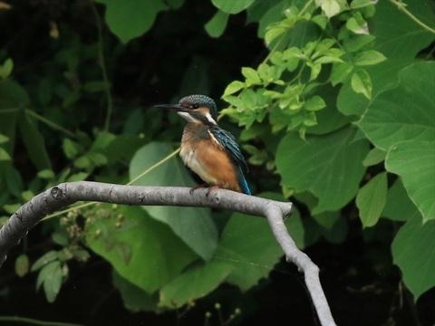 幼鳥2_R.jpg