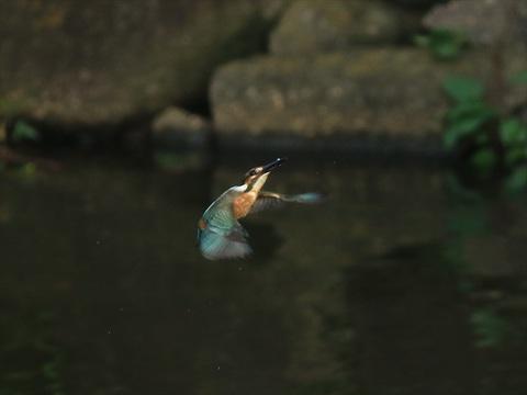 若い雌 餌採り1_R.jpg
