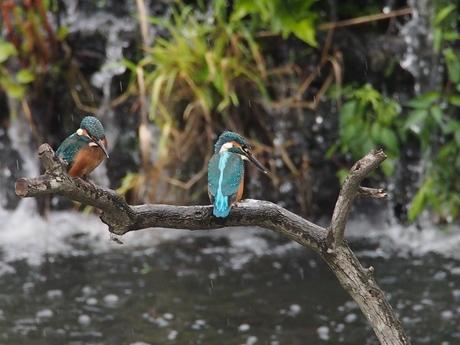 若鳥並び.jpg