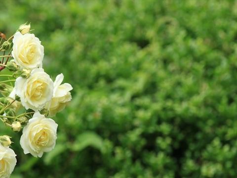 薔薇2_R.jpg