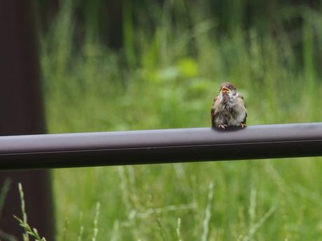 親鳥を待つスズメの子.jpg