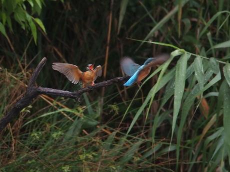 雌鳥のところへ1.jpg